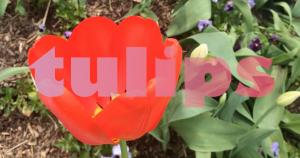 Two Lips Tulips Custom Video for Social Media